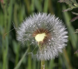 the-fascination-of-the-dandelion-4214386_1280